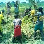 Harvesting Rice to raise funding.