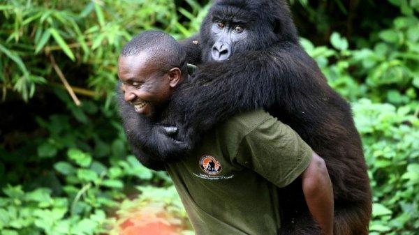Virunga Gorilla Orphan