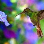 Hummingbird 014