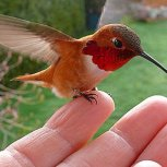 Hummingbird 007